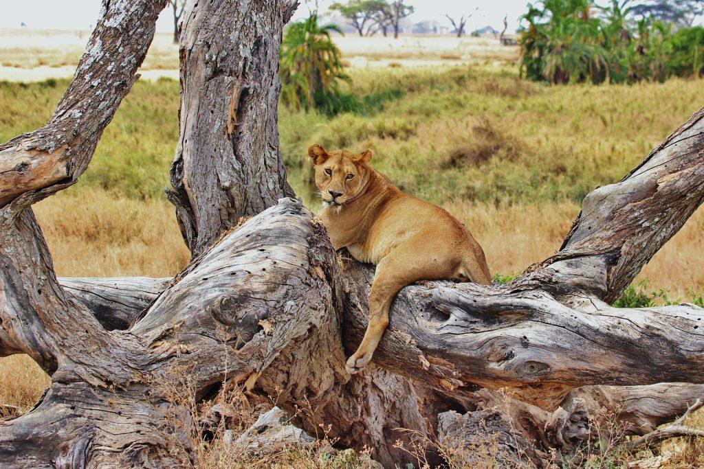 lion pendant un safari en tanzanie